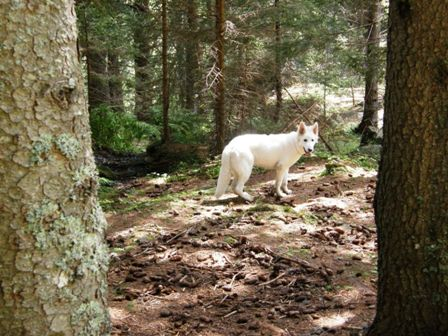 A white wolf in Senevedo Wood